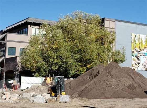 Willow tree to be removed