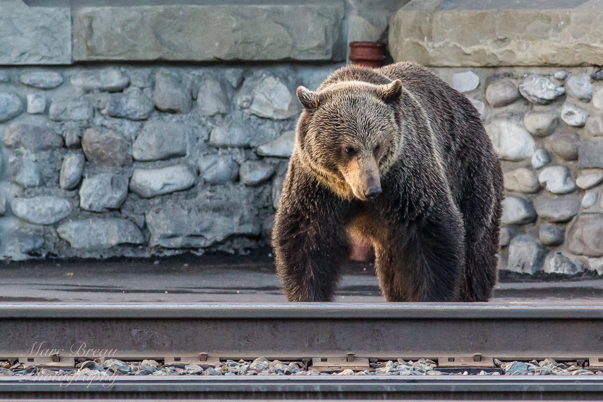 Bear at Train Station